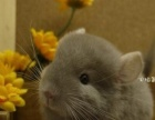 自家繁殖的龙猫宝宝
