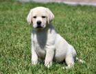 纯种拉布拉多犬幼犬出售 赛级双血统 神犬小七同款