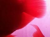 红鹦鹉大的80小的70