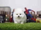 家养本地出售哈多利球体博美 俊介犬 带健康证书