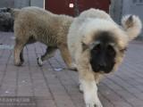 北京哪里卖纯种高加索犬