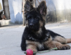 中国专业繁殖双血统德国牧羊犬犬舍 可以上门挑选