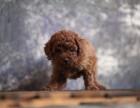 重庆哪里有宠物狗卖泰迪犬韩系娃娃脸泰迪犬口袋茶杯泰迪熊狗