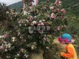 端午节假期带你上山摘中山正宗神湾菠萝