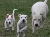贵族之选 大型犬杜高猛犬家园 汪泰狗场直销幼犬