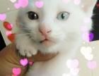 活泼可爱纯白色小猫咪 280元/只喜欢请直接来看实物