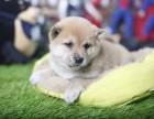 日系柴犬多少钱 石家庄赤色柴犬的价格是多少 黑色柴犬怎么卖
