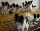 石家庄出售包健康纯种 蝴蝶犬幼犬 当面检测犬瘟细小