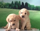 拥有无辜眼神的拉布拉多幼犬 导盲犬 包纯种健康