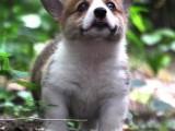 佛山在哪里有卖柯基犬 佛山纯种柯基幼犬一只价格多少