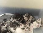 家养美短虎斑猫猫猫找新家