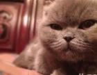 希望我家折耳猫宝宝能在此找个合适的主人收养照顾哦