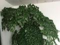 杭州办公室,写字楼绿植花卉租摆,养护,批发出售;