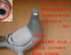 长期出售公棚鸽,本人广东潮州人,店在潮州