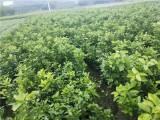 凉山091沃柑苗 091沃柑苗 凉山种柑桔苗