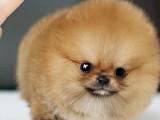 里出售博美犬 博美犬里有卖 博美犬价格