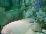 出自养的招财鱼,银龙