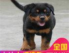 哪里有卖罗威纳犬罗威纳犬多少钱 支持全国发货