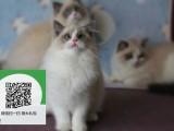 南阳哪里有宠物店 南阳哪里卖宠物猫便宜 南阳布偶猫价格