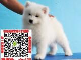 河南郑州萨摩耶什么价格 萨摩耶宠物狗转让出售 萨摩耶领养赠