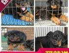 武汉地区出售赛级罗威纳犬/公母齐全/包建康三年/签售后