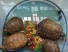 巴西龟大的80一对小的60一对