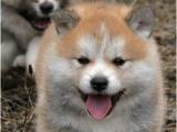 甘肃兰州精品秋田犬多少钱一只