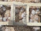 仓鼠兔子荷兰猪个人出售