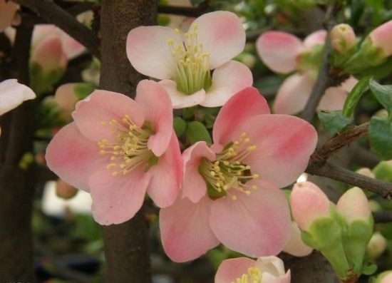 优质花木 木瓜海棠苗 北美海棠苗 盆苗 地苗 价格优惠