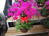 沈阳出售卖批发绿萝,发财树,招财树,开业乔迁礼品花卉