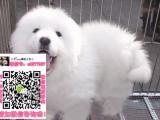 漳州大白熊犬领养赠养价格 巨型大白熊宠物狗转让买卖交易