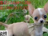 茶杯体 苹果头 金鱼眼的吉娃娃幼犬出售