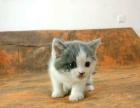 英国短毛猫 蓝白色 公 英短猫沐米猫舍50天小猫咪