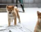 天水哪里卖纯种柴犬 天水哪里卖的柴犬便宜 天水日系柴犬价格