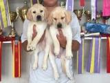 出售拉布拉多导盲犬幼犬寻回猎犬血统纯种宠物犬宠物狗拉布拉多狗
