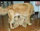 家庭养殖低价转让金毛幼犬,骨骼粗壮毛色好,品相佳
