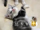 温岭家养起司猫 美短加白宝宝