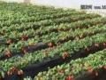 春暖花开,有空就来尝尝自己亲手采摘的草莓~
