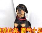 纯种德系杜宾犬 赛级杜宾犬 按时防疫 驱虫 品质保