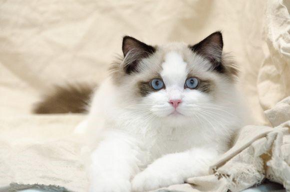 西安哪里有布偶猫卖 海豹双色 重点手套均有CFA认可多只可挑