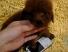 纯种泰迪幼犬宝宝出售 品质可靠 疫苗齐全