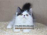 CFA认证猫舍出售多只高品质赛级波斯猫