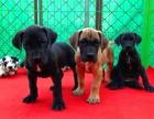惠州什么地方有狗场哪里有卖宠物狗/惠州哪里有卖大丹犬