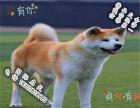品质好一点的秋田犬多少钱 要纯种品相好的