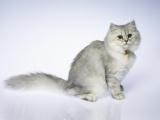 无锡本猫舍出售各种品种猫咪 疫苗齐全包健康