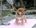 狗场里的柴犬能不能养活 价格贵不贵