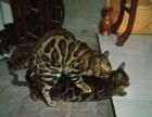 家庭血统孟加拉豹猫