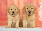 绵阳 纯种金毛幼犬 疫苗齐全出售中 可签协议健康保障