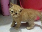 自家养的宠物折耳猫