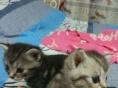 自家养小虎斑猫出售